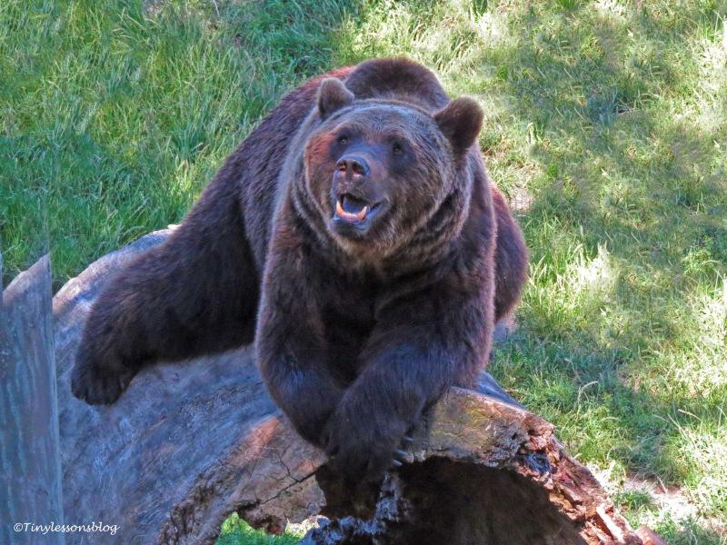 brown bear skansen UD166