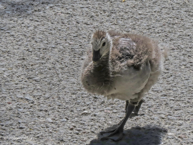 gosling skansen ud166