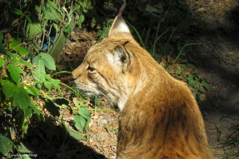 Lynx at skansen ud166