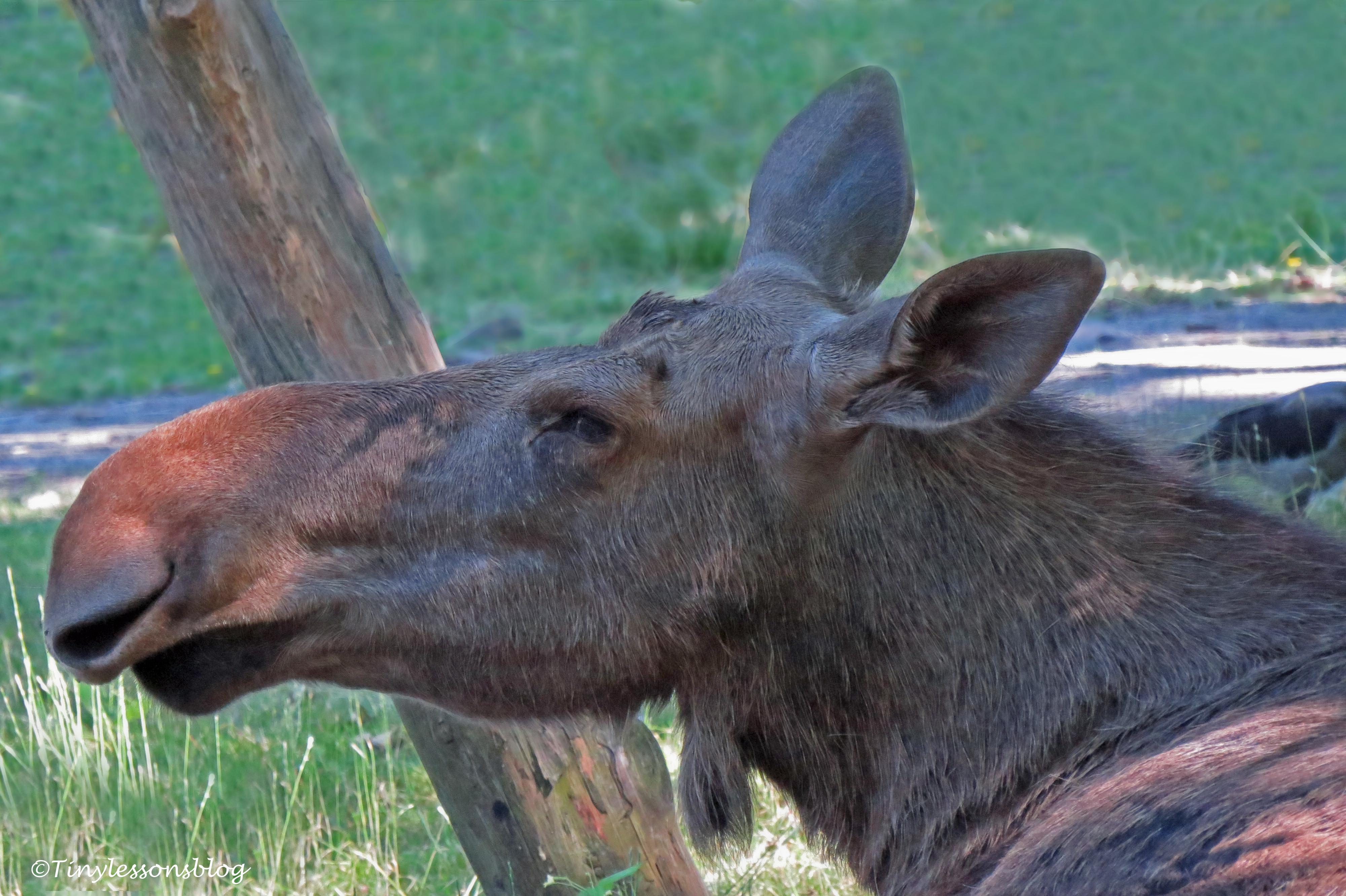 mama moose ud166