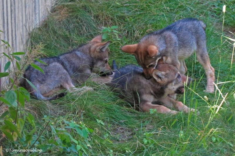 wolf cubs at skansen UD166