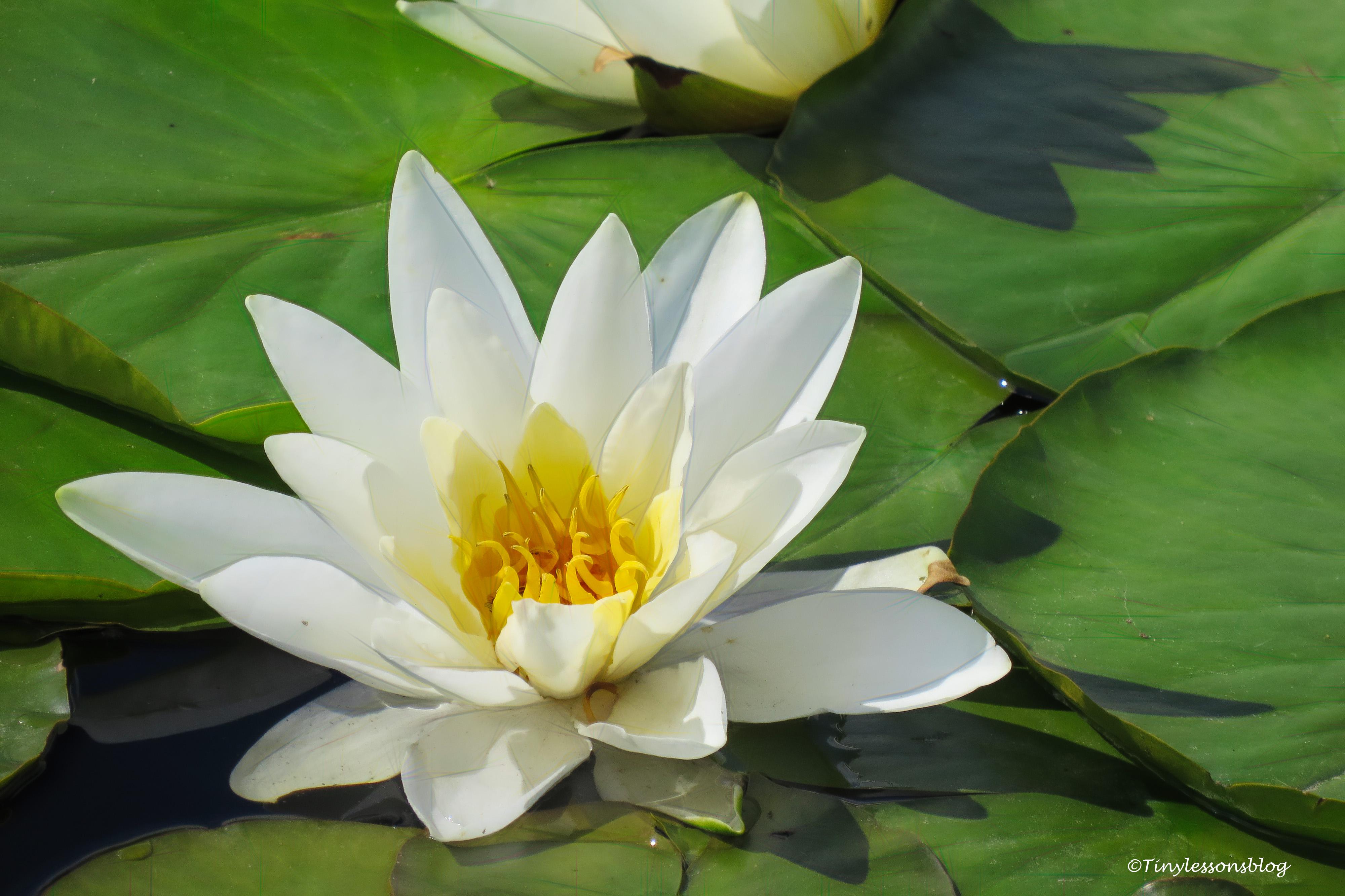 karlberg water lily ud164