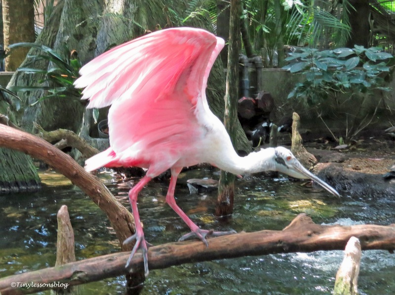 adult roseate spoonbill UD170