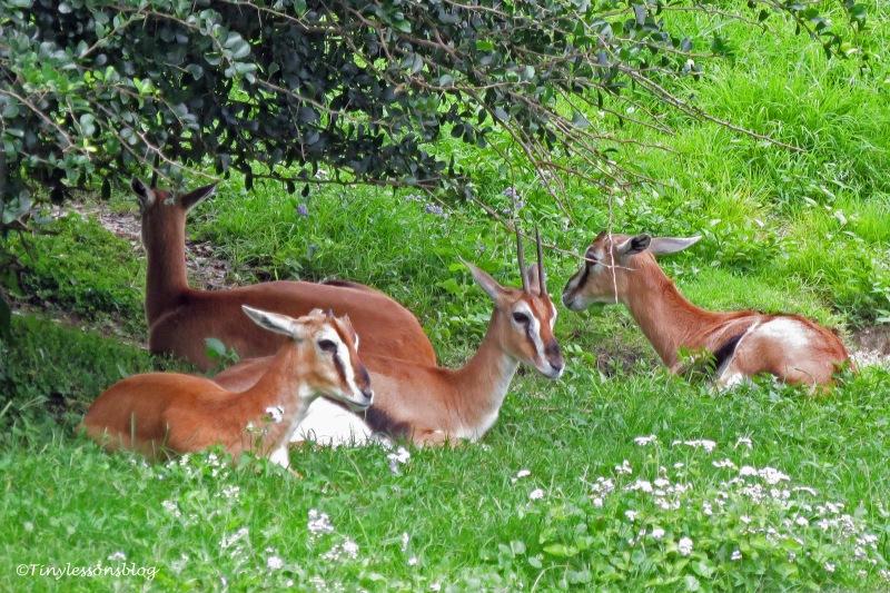 antelopes ud170