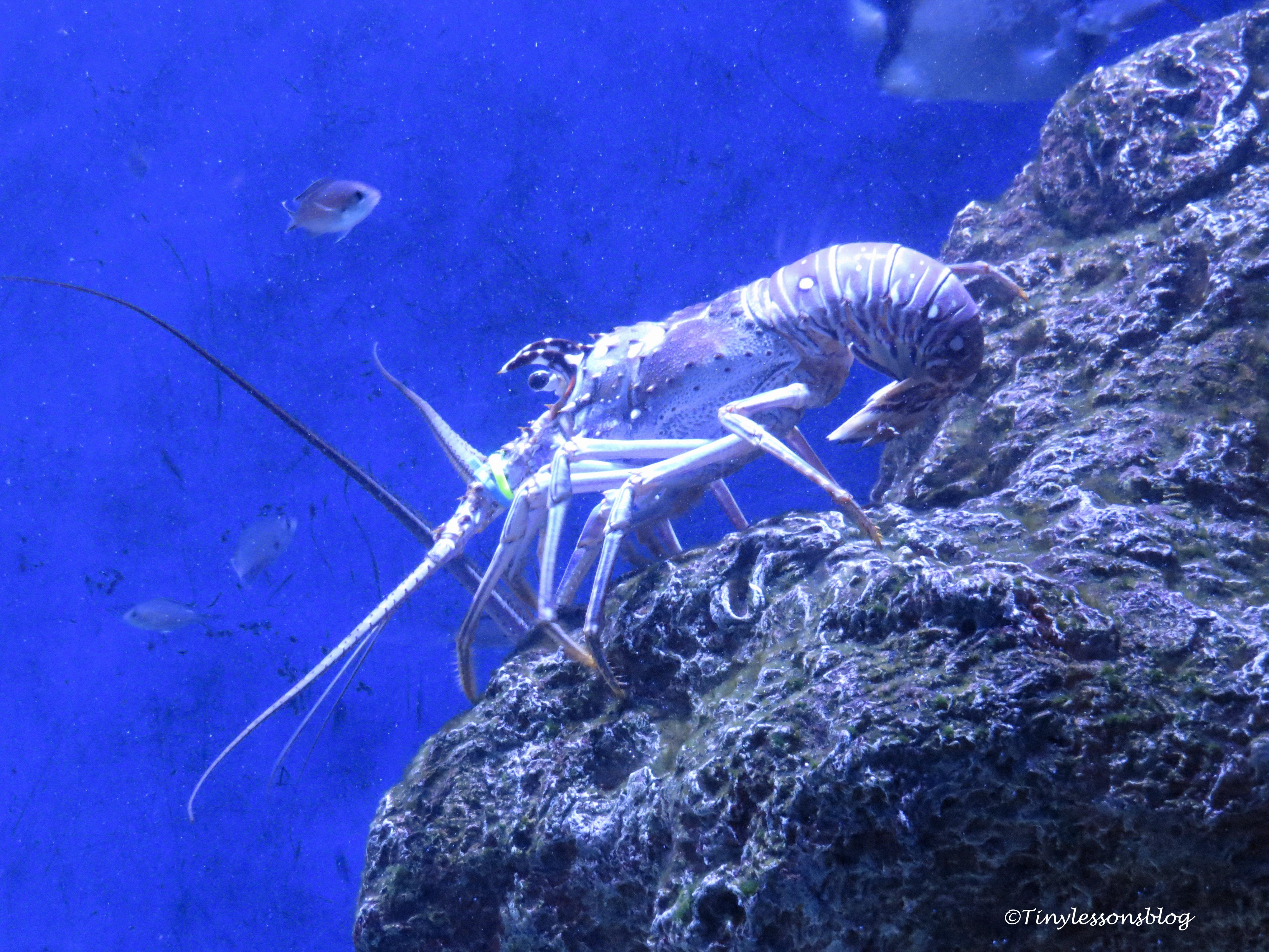 giant lobster ud170