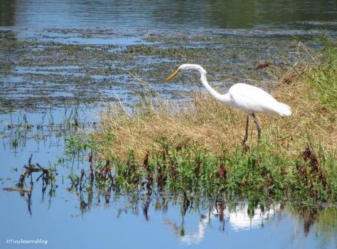 Great egret at Taylor Park ud170