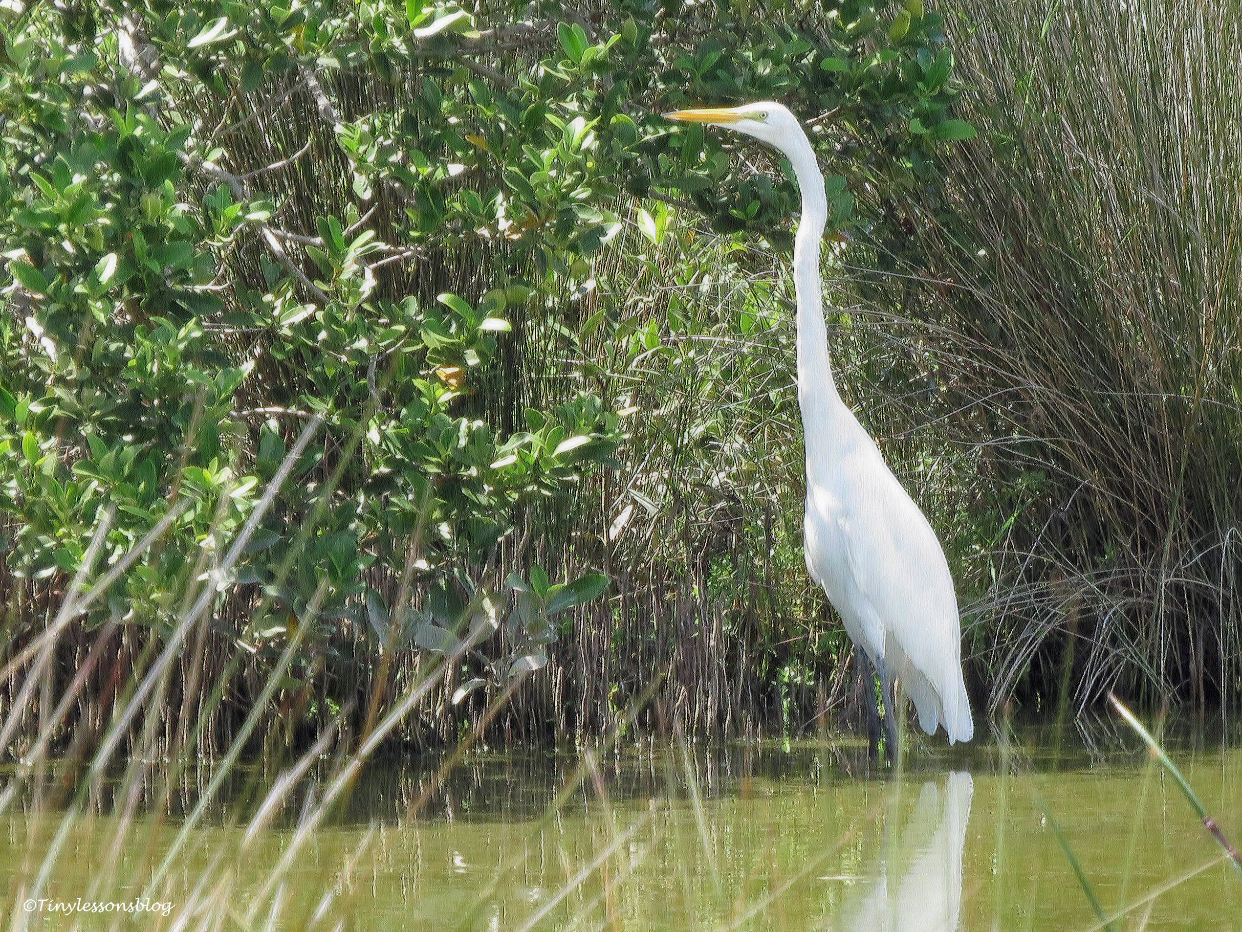 Great egret ud170