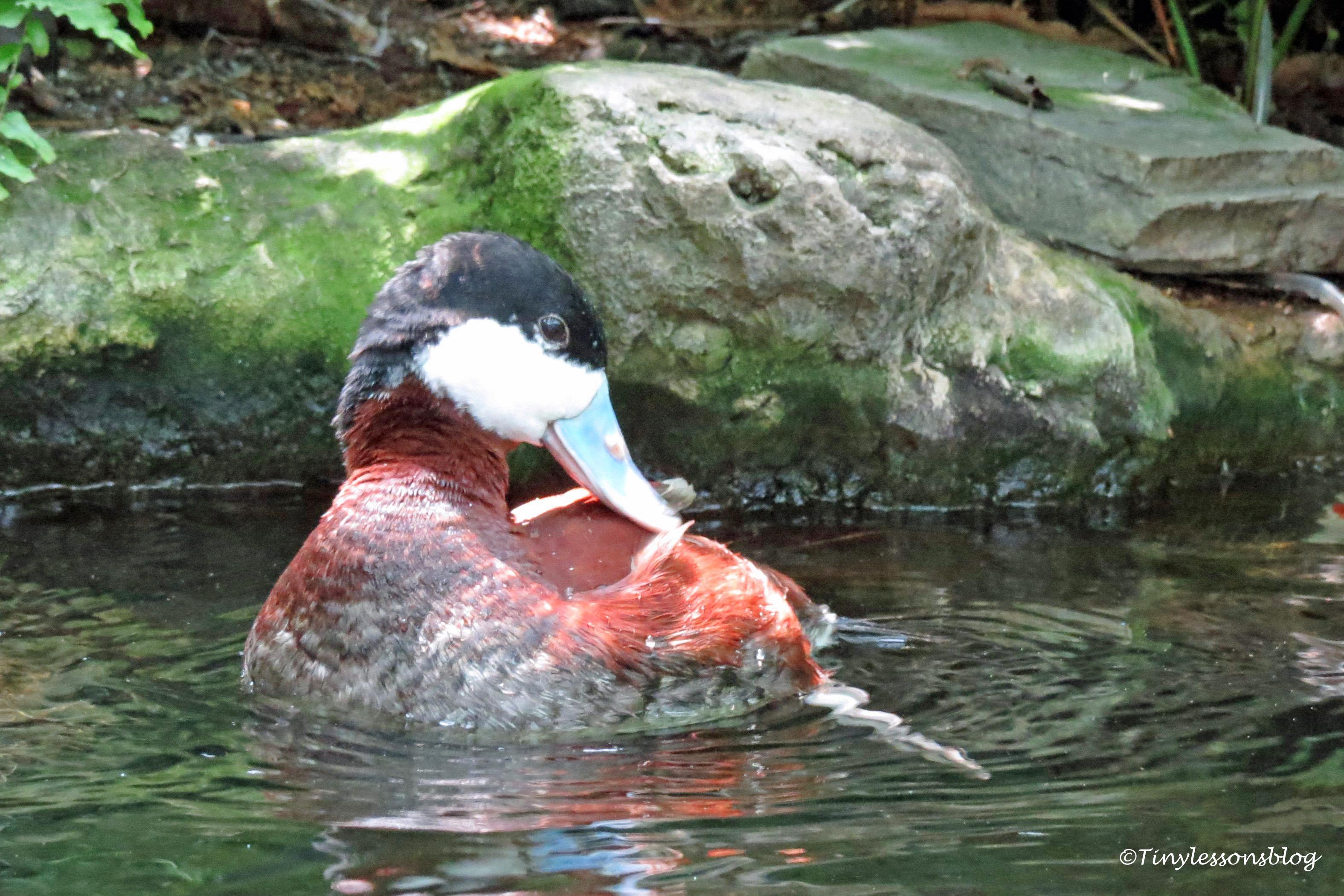 male ruddy duck UD170