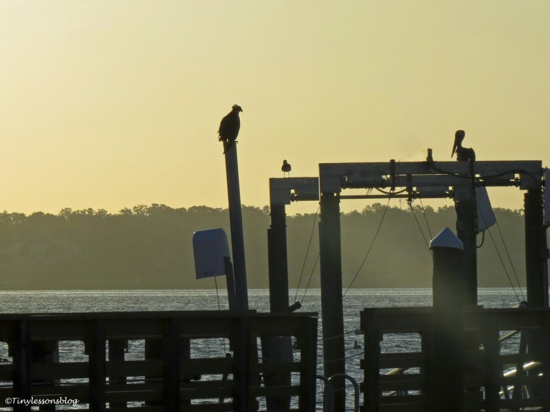 mama osprey at sailing center ud170