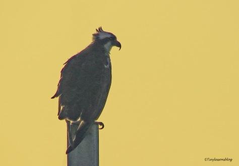 mama osprey ud170