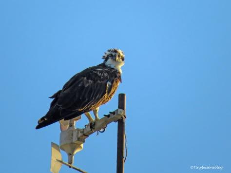 papa osprey at sailing center ud170