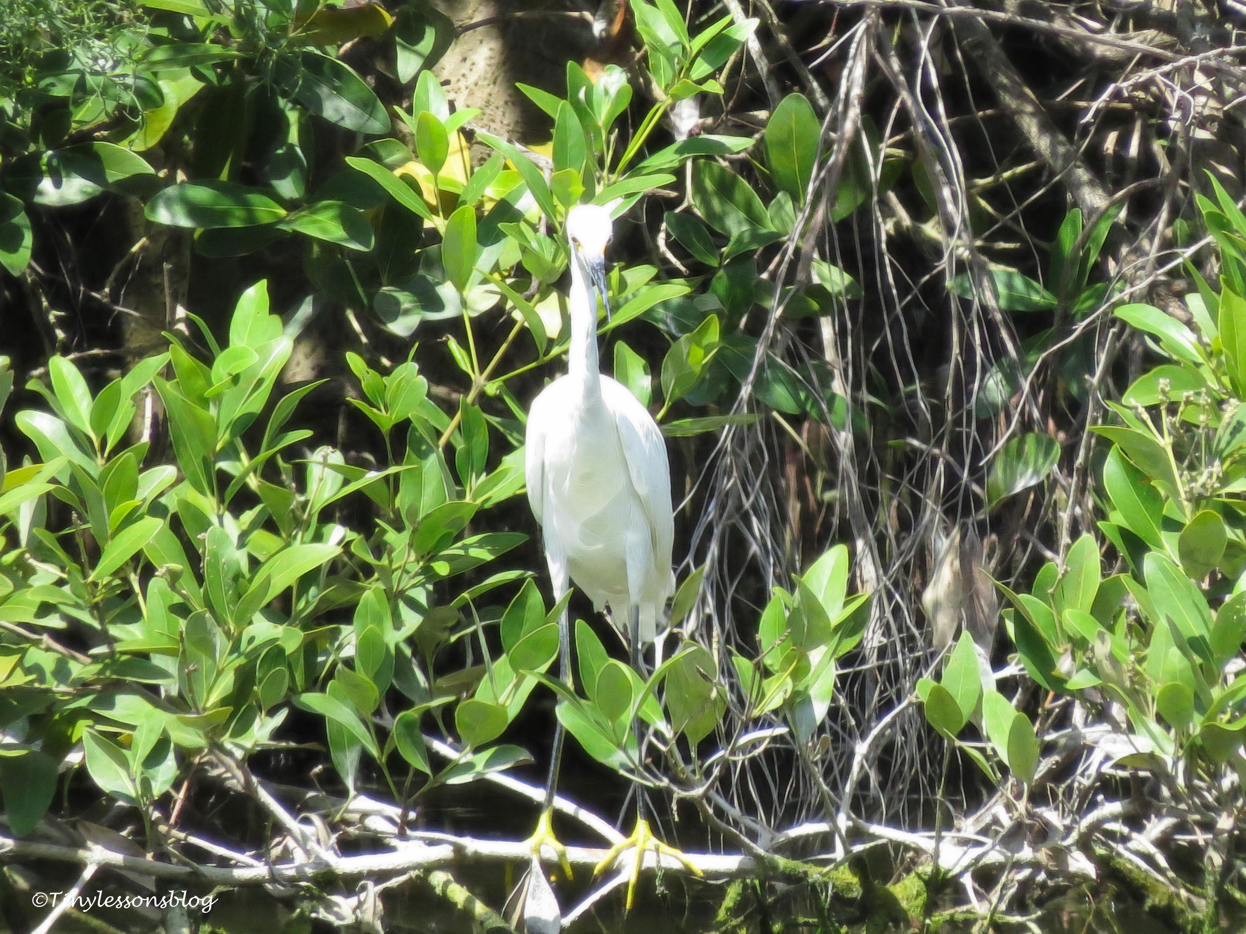snowy egret ud170