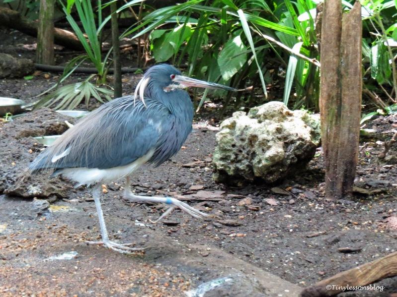 tri-colored heron ud170