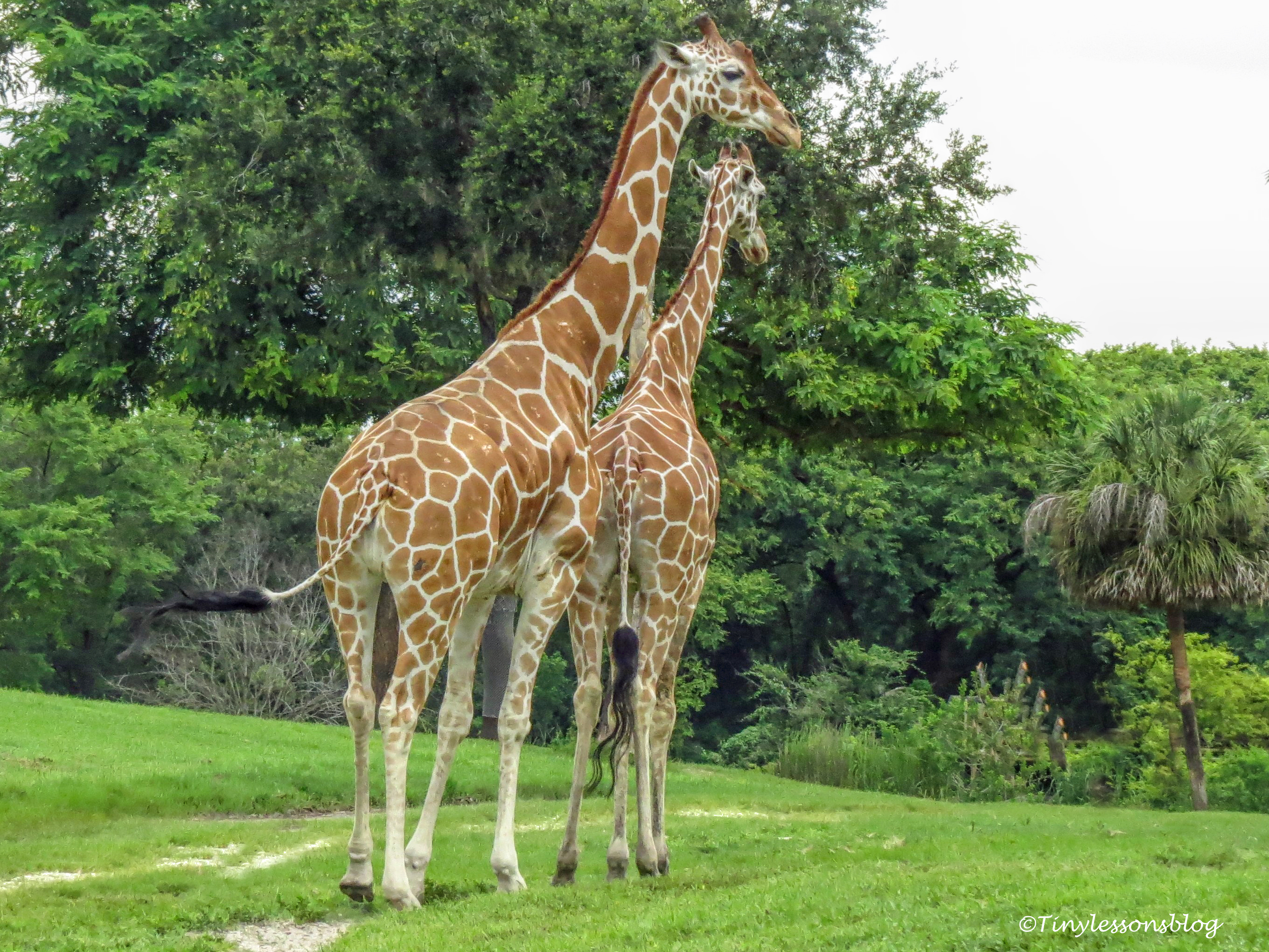 two giraffes UD170