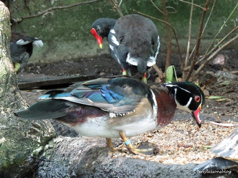 wood duck and moorhen ud170