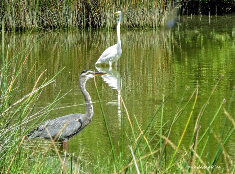 Young GBH and a great egret UD170