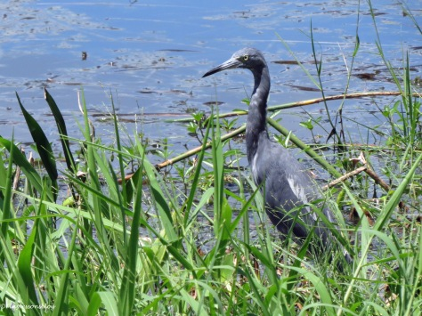 young little blue heron 2 at Taylor Park ud170