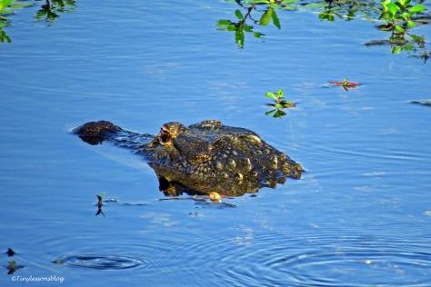 alligator ud171