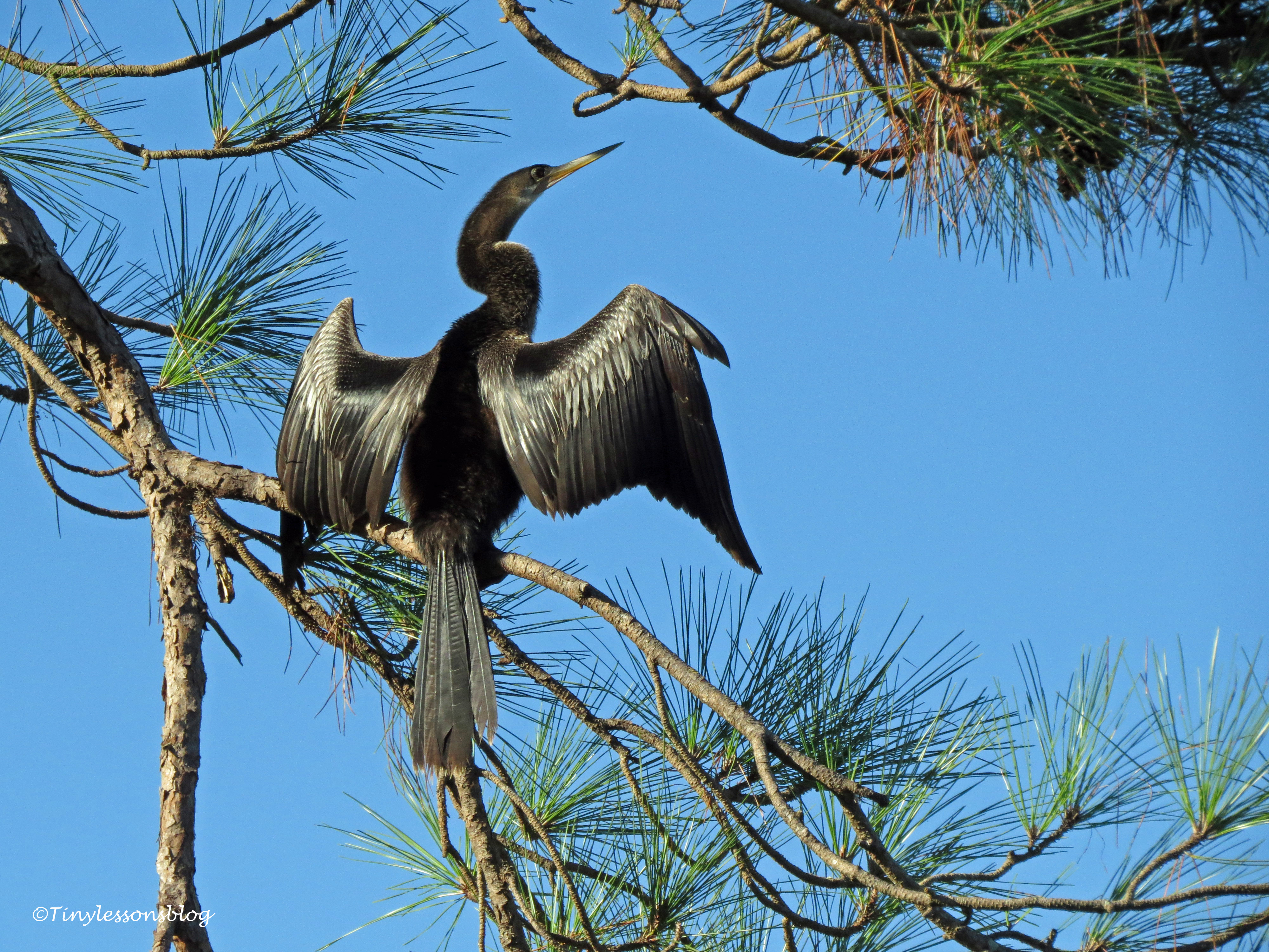 anhinga in the tree ud171