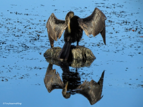 Anhinga looking in the mirror UD172