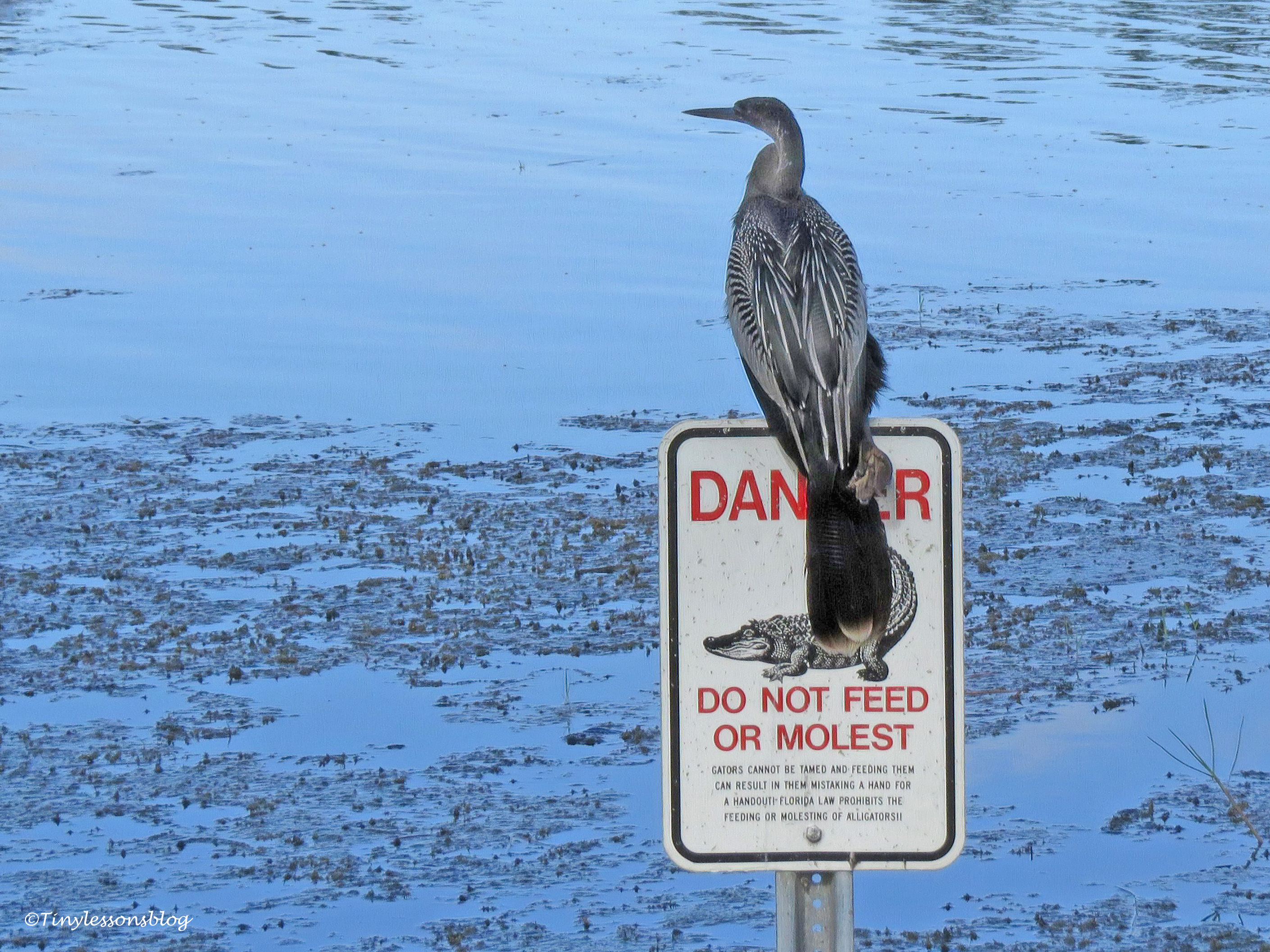 anhinga on alligator sign at Taylor Park ud171