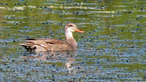Florida Mottled Duck ud172
