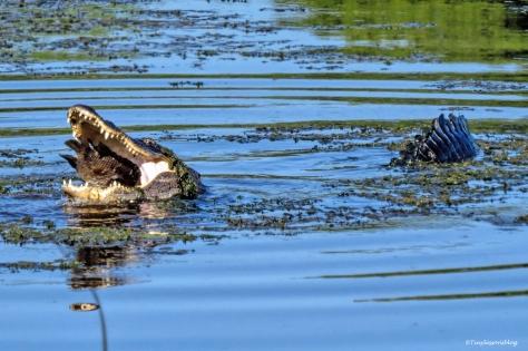gator swallows a fish UD172