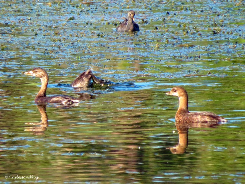 grebe family and a moorhen UD172