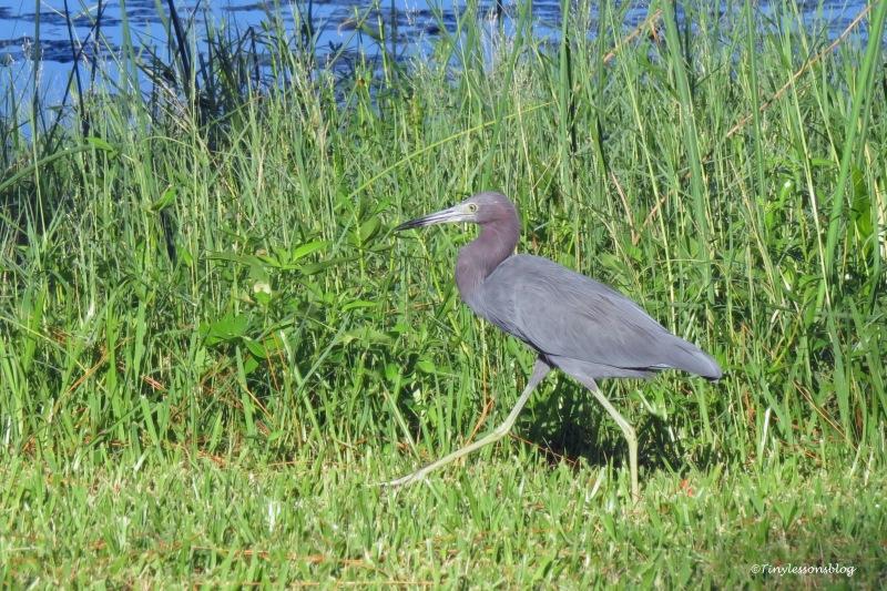 Little Blue Heron ud171