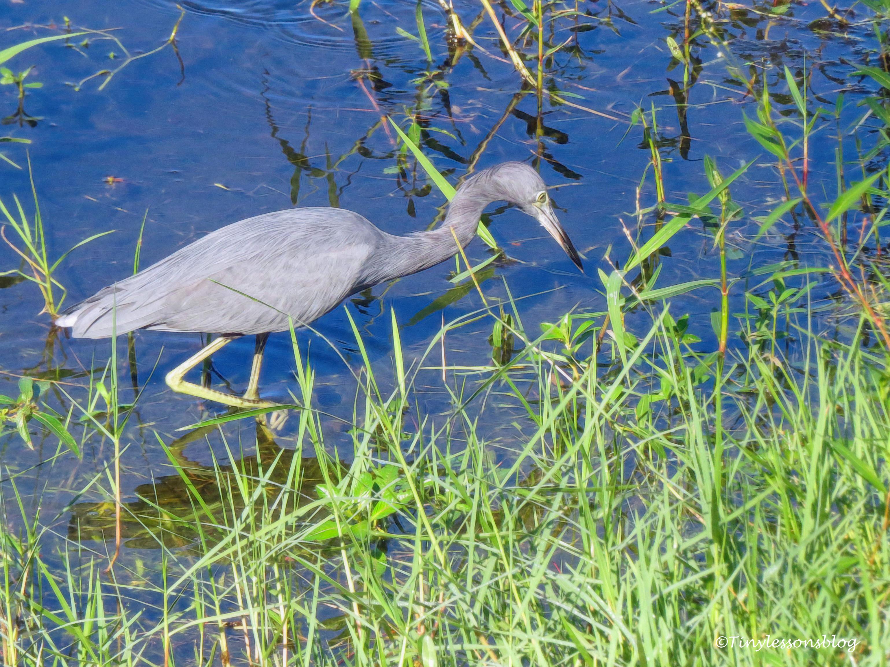 little blue heron ud172