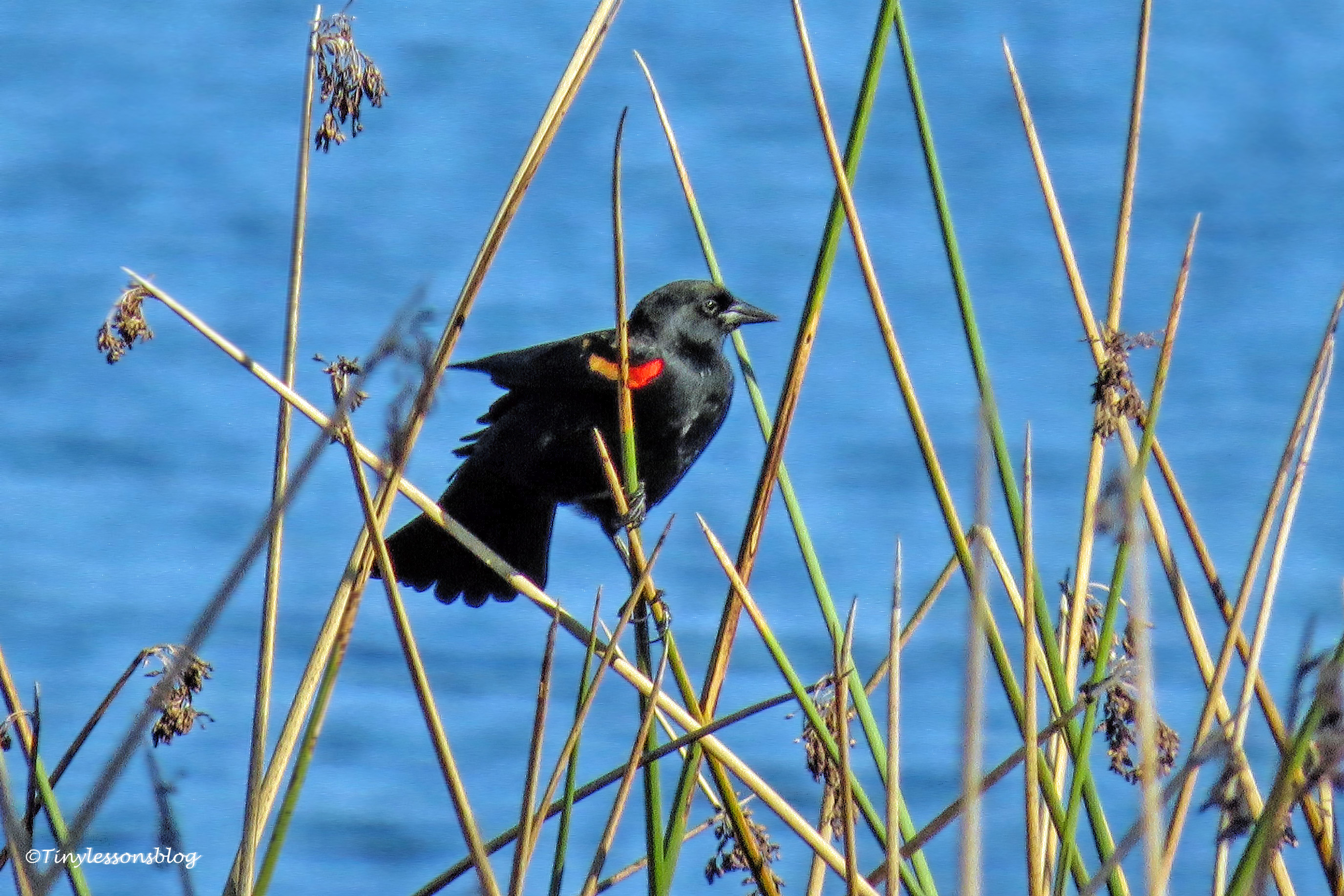 male red-winged blackbird ud171