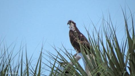 mama osprey at sunset 2 ud171