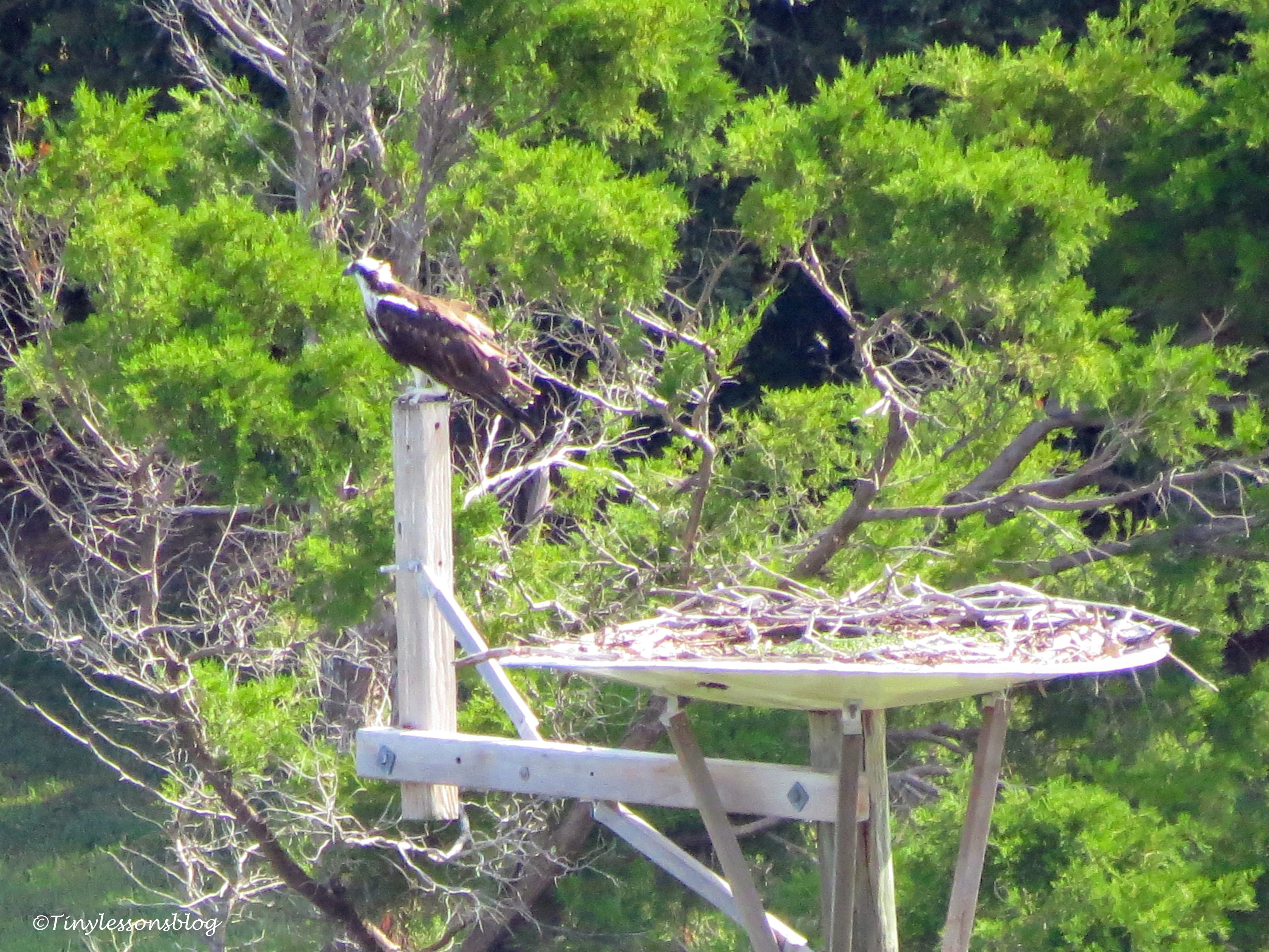 mama osprey at the nest ud171