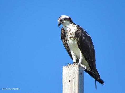 mama osprey babysits the nest ud171