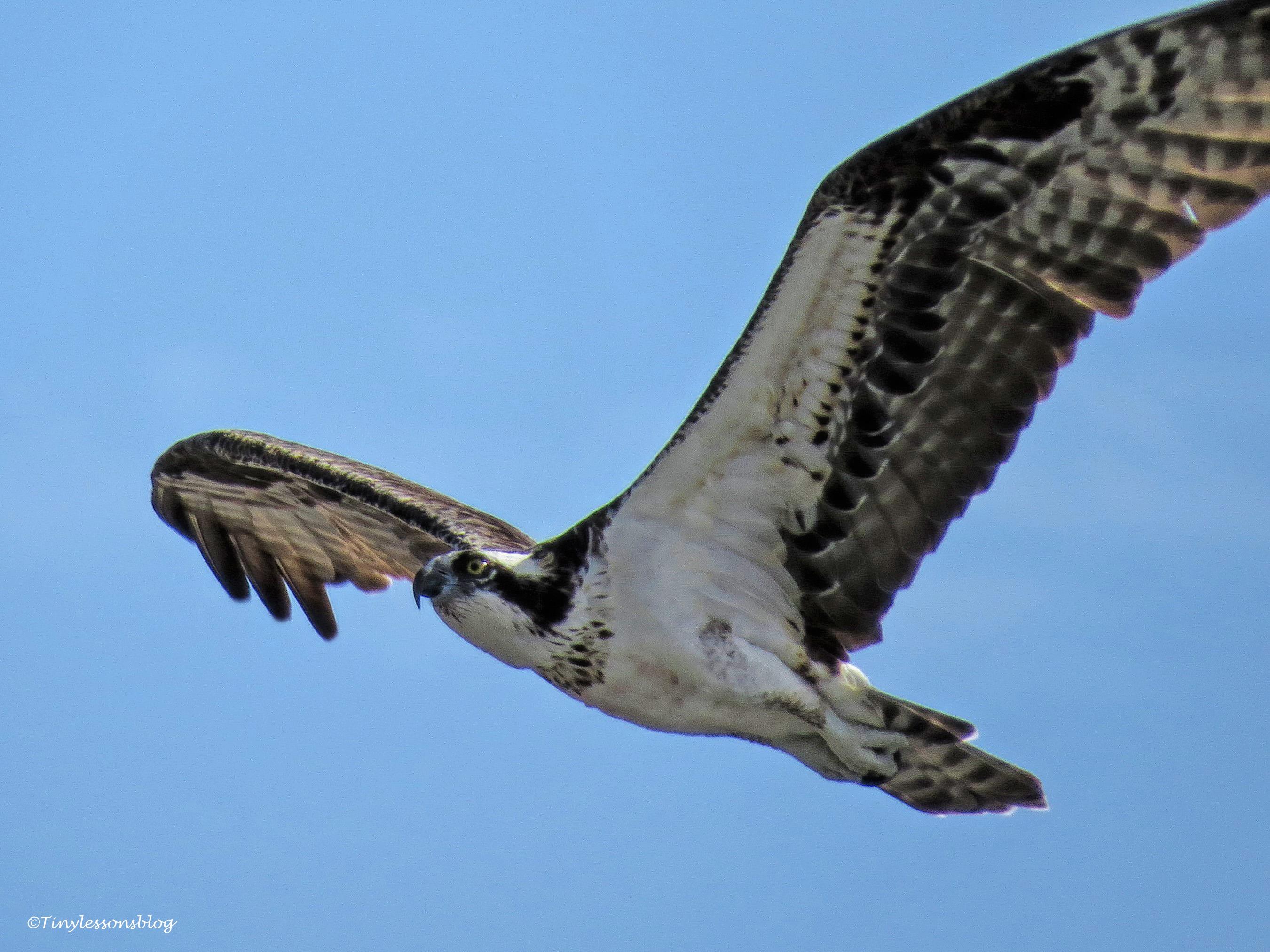 mama osprey in flight 2 ud171