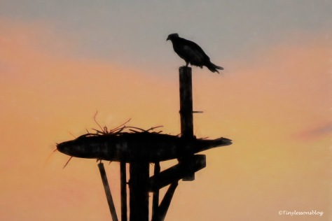 mama osprey in the nest after sunset ud171