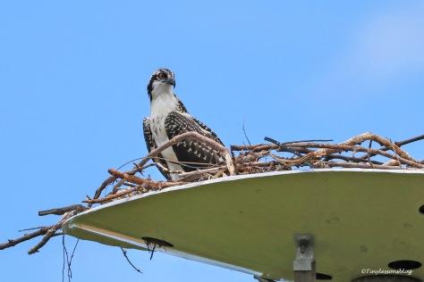 osprey chick Bubbette ud171