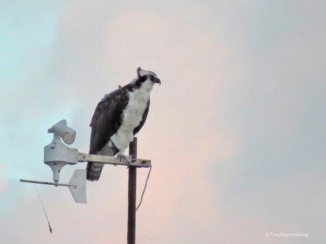 papa osprey at sunset 2 ud171