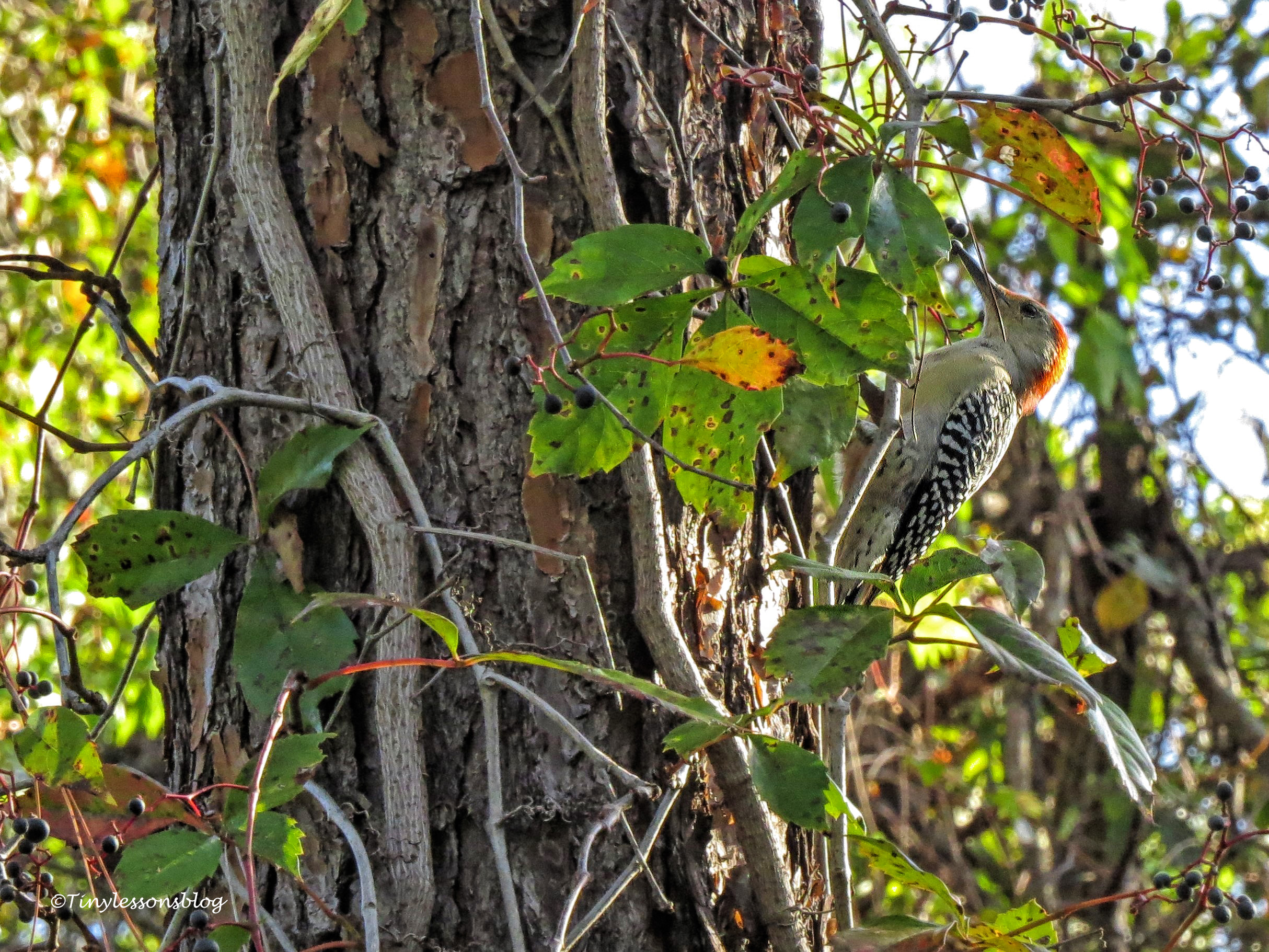 red-bellied woodpecker at taylor park ud171