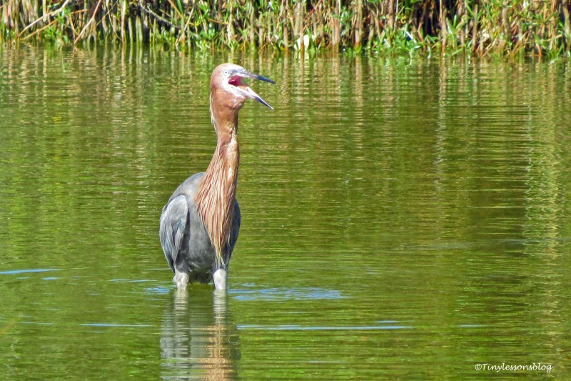 reddish egret eats the fish ud171
