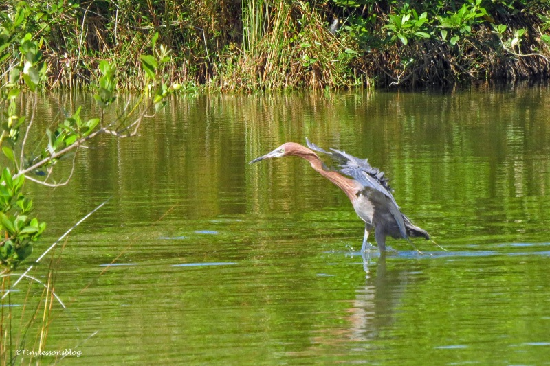 reddish egret hunts ud171