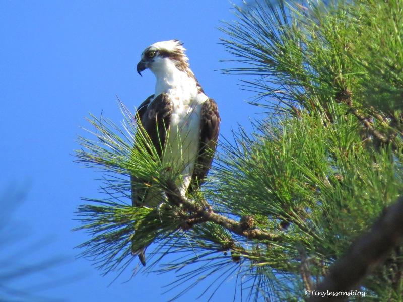 resident osprey at Taylor Park ud172