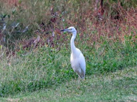 snowy egret ud171