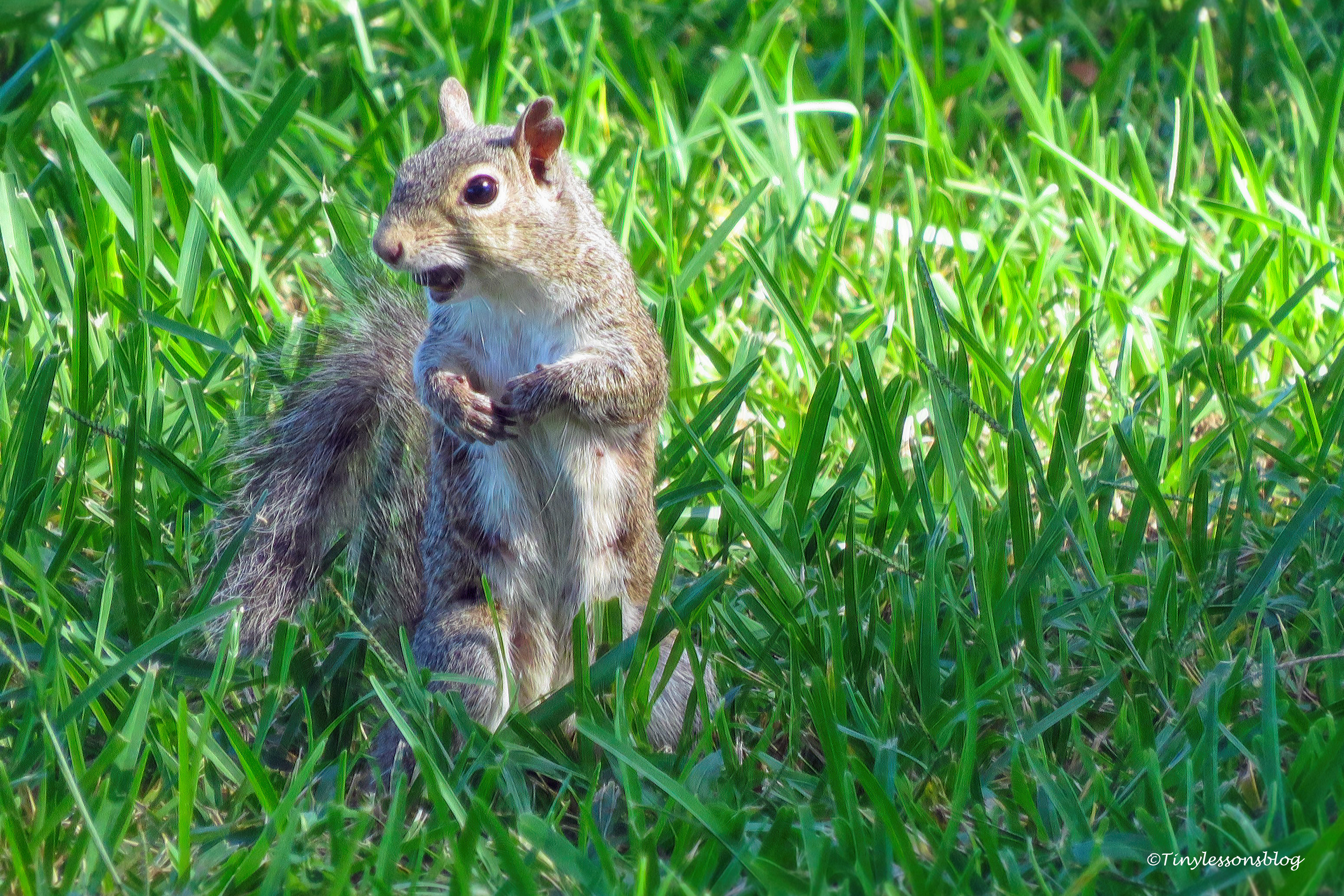 squirrel ud172