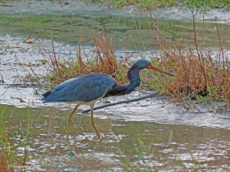 tri-colored heron at sunset ud171