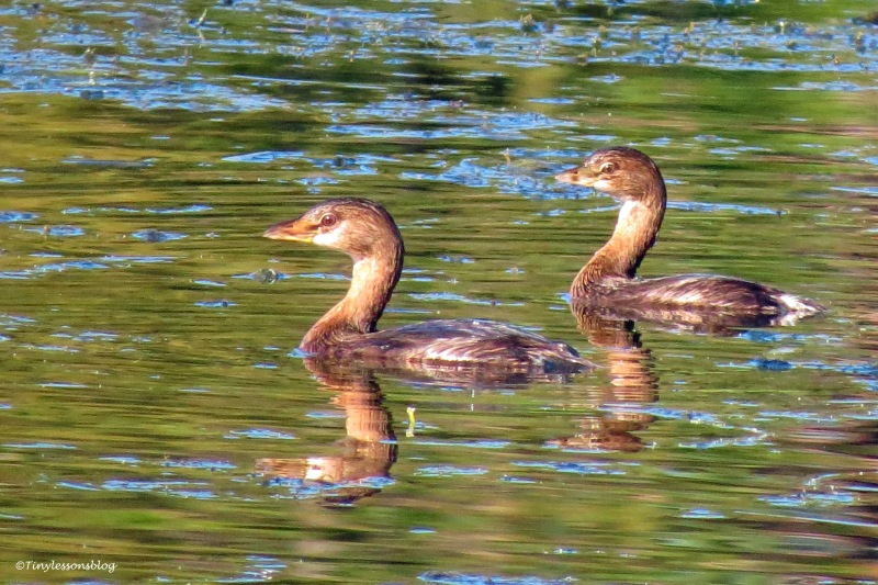 two grebes ud172