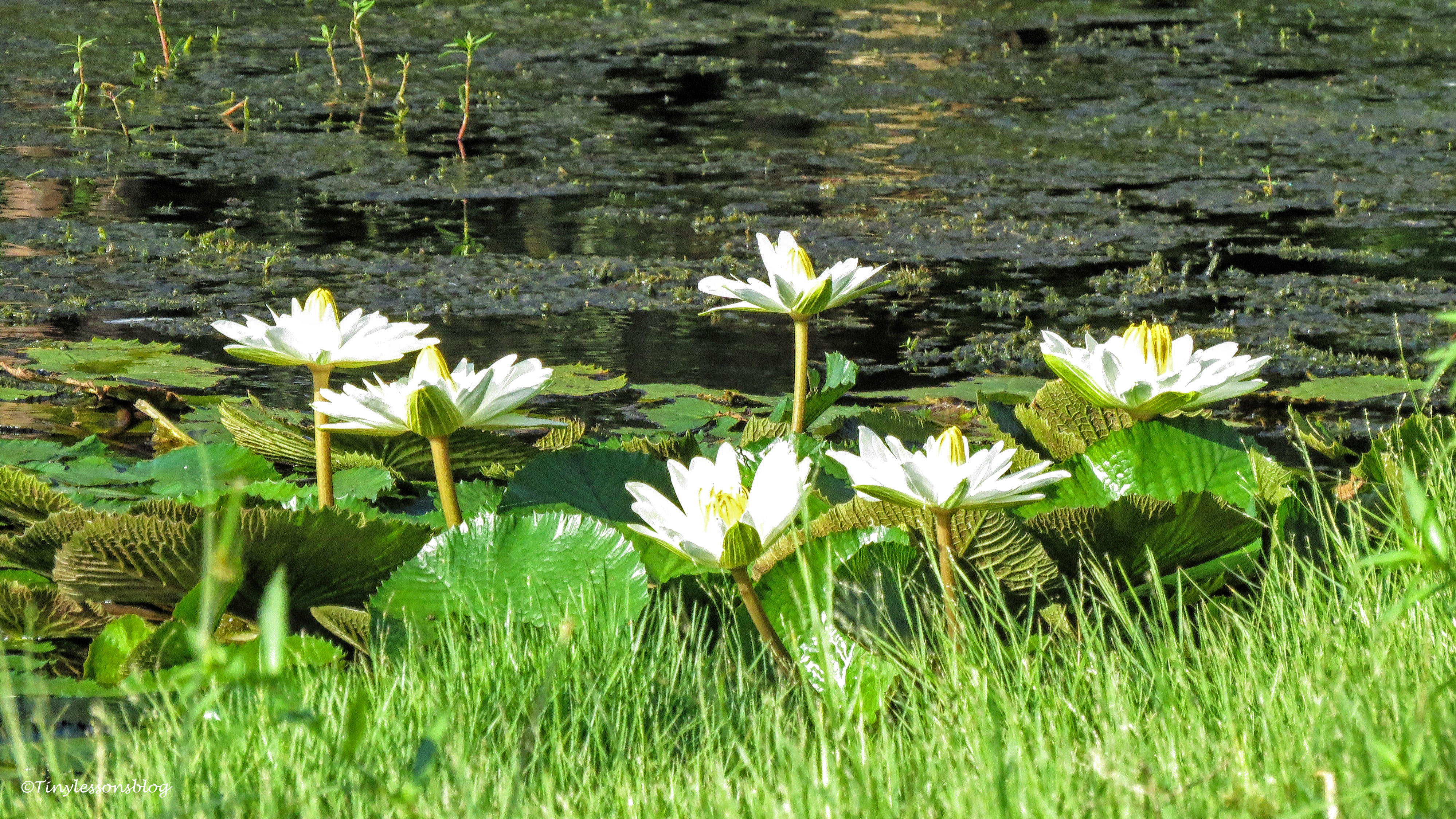 water lilies ud171