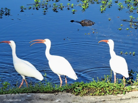 white ibis and a gator ud171