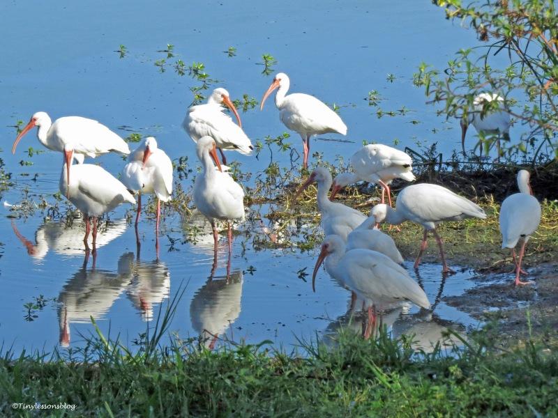 white ibis drinking ud172